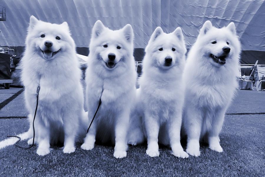 Snowmist Breeding Group: Unna, Minni, Salli ja Pepe.