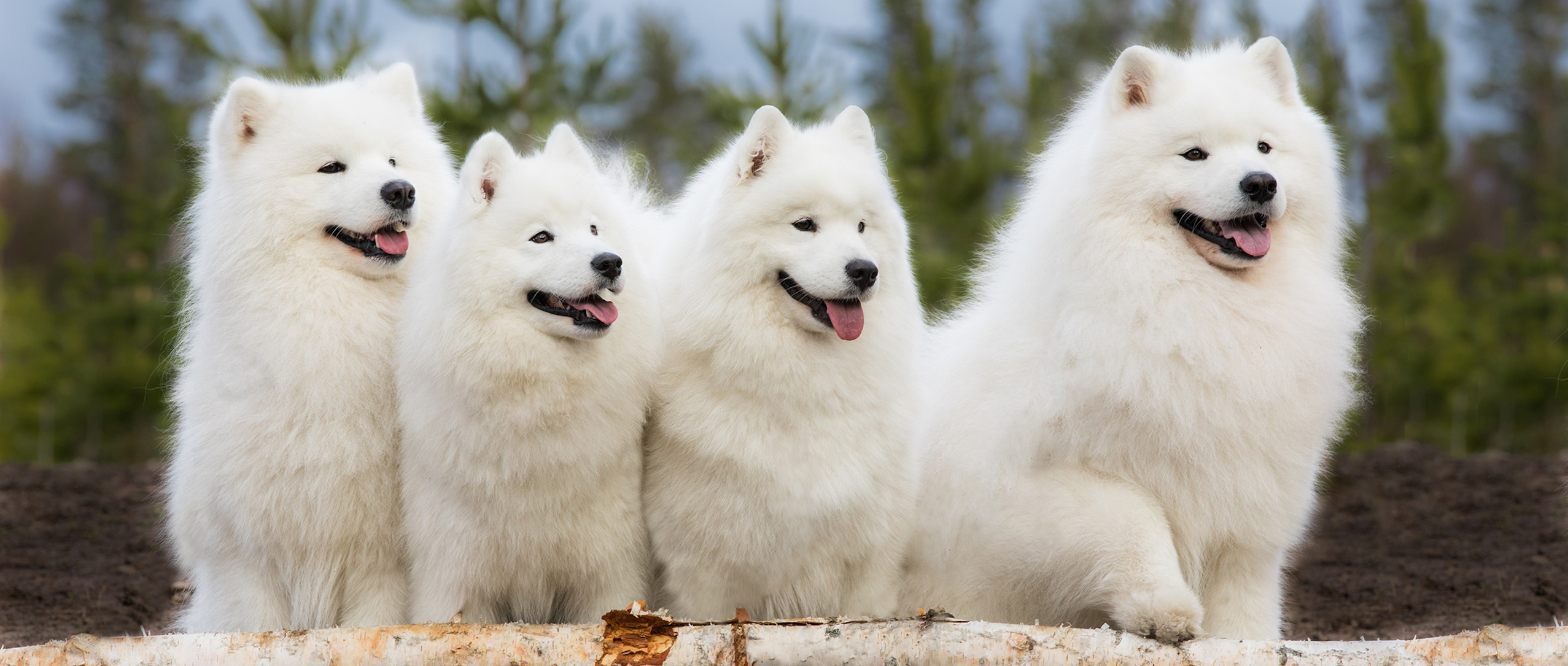 Snowmist samojedinkoiria.